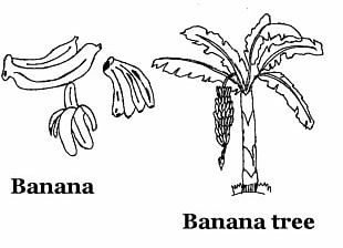 Banana Split Drawing Coloring Book Fruit PNG