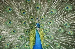 Asiatic Peafowl Bird Green Peafowl Feather PNG