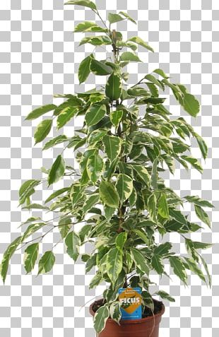 Seed Tree Autoflowering Cannabis Plant White Widow PNG