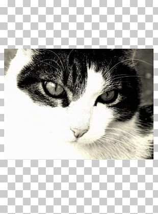 Norwegian Forest Cat Kitten Whiskers Domestic Short-haired Cat Animal PNG