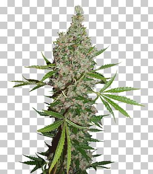 White Widow Cannabis Coffeeshop Seed Bank Skunk PNG