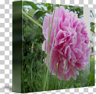 Cabbage Rose Peony Herbaceous Plant Petal Pink M PNG