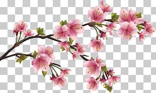 Cherry Blossom Flower Petal PNG