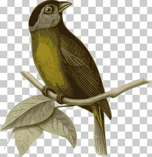 Bird In The Tree Passerine PNG