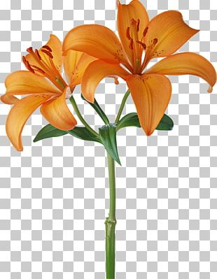 Orange S.A. Flower Stock Photography White PNG