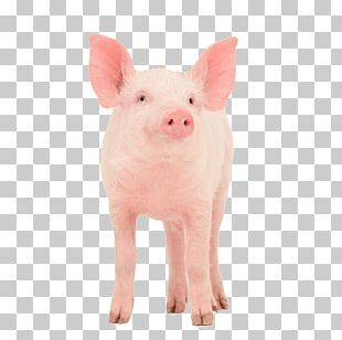 Guinea Pig Danish Landrace Pig Dutch Landrace Pig Large White Pig Stock Photography PNG