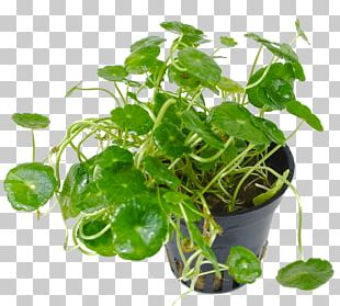Spring Greens Spinach Herb Flowerpot Leaf Vegetable PNG