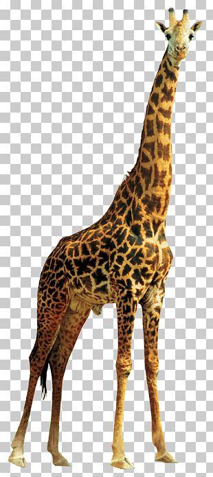 Giraffe Lion PNG