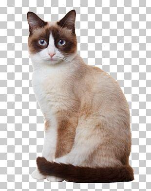 Snowshoe Cat Birman Siamese Cat Stock Photography Breed PNG