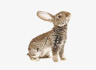 Wild Rabbit PNG