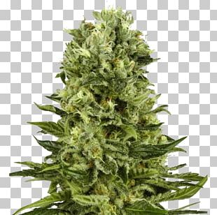 Skunk White Widow Autoflowering Cannabis Marijuana Cannabis Sativa PNG