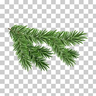 White Spruce Branch PNG