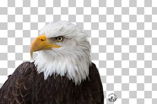 Bald Eagle Stock Photography Ajdaa Ilan Ljam Shutterstock PNG