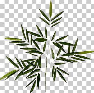 Branch Leaf Follaje Plant Stem Photography PNG