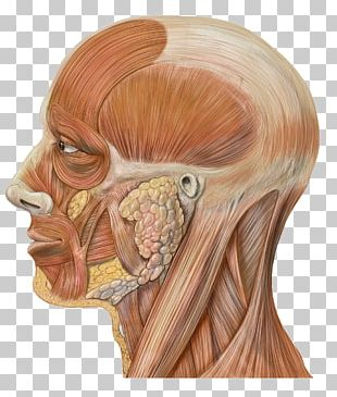 Head And Neck Anatomy Human Body Human Head PNG
