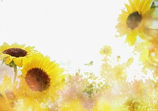 Sunflowers In The Sun PNG