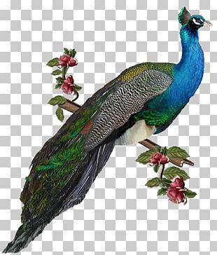 Bird Peafowl PNG