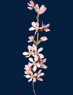 Orchid S PNG