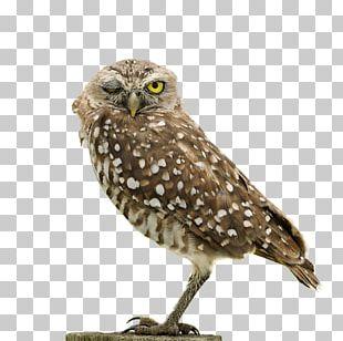 Owl Fauna Hawk Wildlife Beak PNG