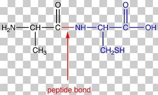 Peptide Bond Amino Acid N-terminus C-terminus PNG