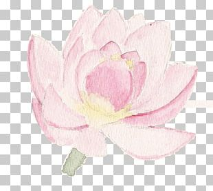 Cabbage Rose Peony Petal Herbaceous Plant PNG