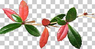 Petal Bud Plant Stem Leaf Flowering Plant PNG