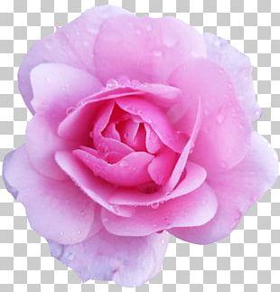 Flower Rose Pink Desktop PNG
