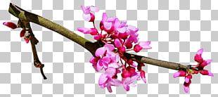 Cherry Blossom Flower Spring PNG