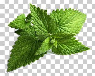 Mentha Spicata Peppermint Maghrebi Mint Tea Mentha Longifolia PNG