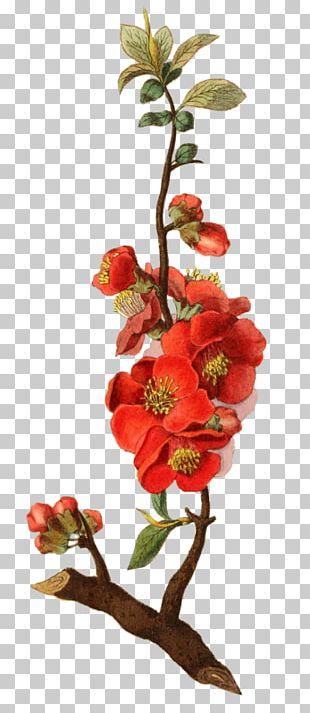 Botanical Illustration Botany Rose PNG