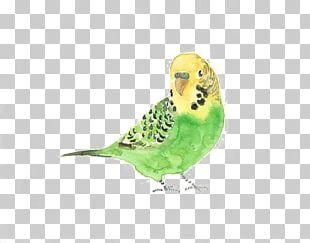 Budgerigar Bird Watercolor Painting Drawing PNG