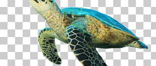 Hawksbill Sea Turtle Tortoise Loggerhead Sea Turtle PNG