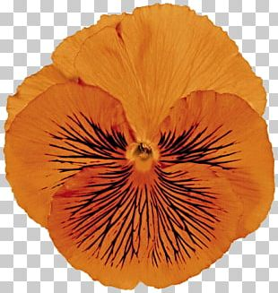 Pansy Flowering Plant Petal Violet PNG