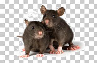 Mouse Rodent Fancy Rat Pet Laboratory Rat PNG