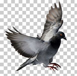 Columbidae Homing Pigeon Squab Bird Racing Homer PNG
