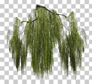 Weeping Willow Tree PNG