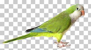 Monk Parakeet Parrot Bird Green PNG