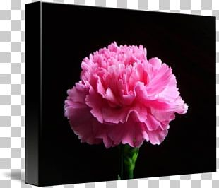 Carnation Peony Cut Flowers Rose Family Pink M PNG