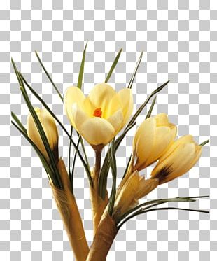 Crocus Cut Flowers Floral Design Plant Stem PNG