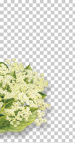 Elderflower Cordial Elderberry Organic Food Syrup Floral Design PNG