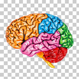 Occipital Lobe Lobes Of The Brain Parietal Lobe Frontal Lobe Temporal Lobe PNG