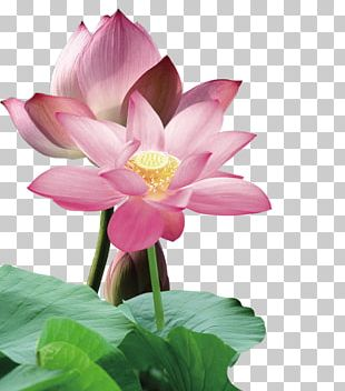 Nelumbo Nucifera Red Leaf PNG