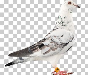 Racing Homer Columbidae Bird Loft Pigeon Racing PNG