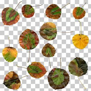 Autumn Leaf Color Plant PNG