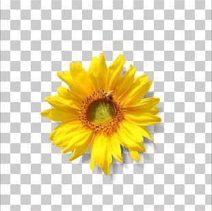 Common Sunflower Lecithin Sunflower Seed Phospholipid PNG