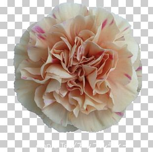 Cabbage Rose Carnation Cut Flowers Mother's Day PNG