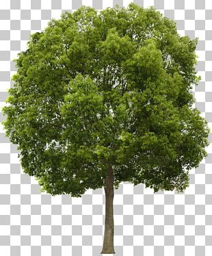 Tree Alpha Compositing PNG