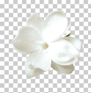 Tulip Flower Petal PNG