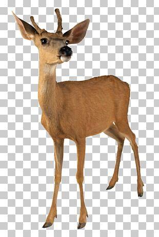 Roe Deer White-tailed Deer Red Deer Moose Reindeer PNG