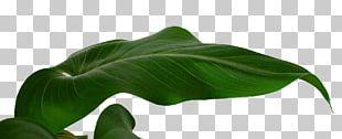 Banana Leaf Musa Basjoo PNG